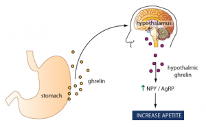 ghrelin, stomach and brain.