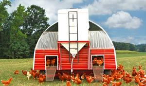 Pasture raised chickens enjoy most of their life outdoors and have shelter from predators at night.