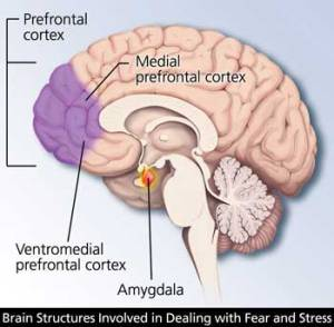 Amygdala location in brain.